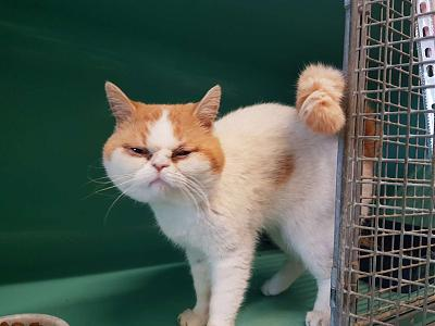 Chamalow exotic shorthair de 5 ans absolument adorable à adopter-6531.1.jpg