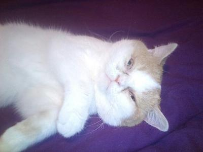 Chamalow exotic shorthair de 5 ans absolument adorable à adopter-img_20180117_2230591.jpg
