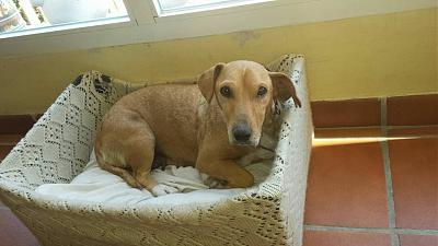 Charlotte adorable louloute 7 ans 12kgs, paralysie faciale (Grenade, Espagne)-charlotte-oct2015-perra-adopcion.jpg