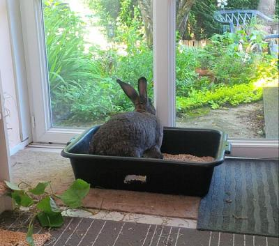 Charlotte, grande lapine charmante à adopter [Association Marguerite&Cie]-img_1464202175_262.jpg