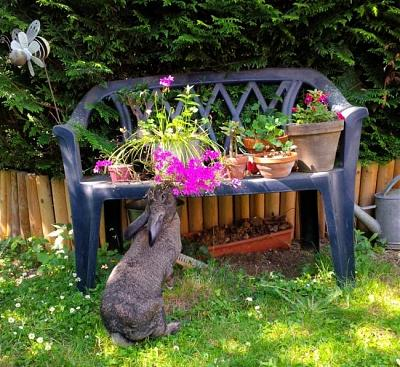 Charlotte, grande lapine charmante à adopter [Association Marguerite&Cie]-img_1466003698_511.jpg