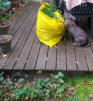 Charlotte, grande lapine charmante à adopter [Association Marguerite&Cie]-img_1475053279_118.jpg