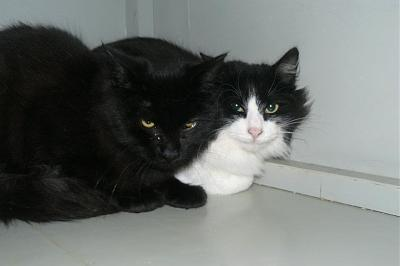Chatons � adopter au refuge spa de brax (47)-385790_123301817783584_120790954701337_125262_756181914_n.jpg