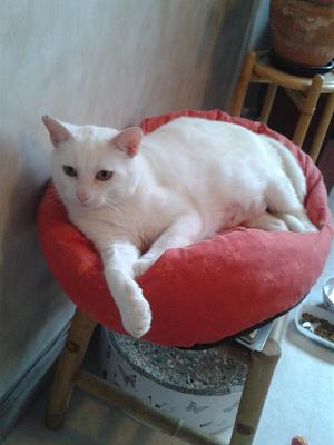 chatte blanche à adopter-delyss-2.jpg