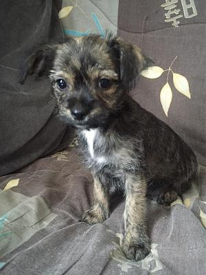 chiot femelles Cairn terrier x Chihuahua - 92 Asso Chat d'Or-19105907_1388422001225485_3966321302991174671_n.jpg