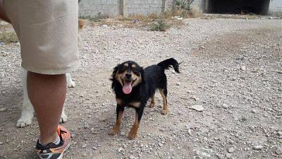 Coconut adorable loulou sociable 1 an 5 kgs attend au refuge (Jaen, Espagne)-coconut2.jpg