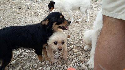 Coconut adorable loulou sociable 1 an 5 kgs attend au refuge (Jaen, Espagne)-coconut3.jpg