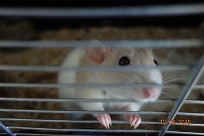Cookie, jeune ratte à adopter rapidement (75)-cookie1.jpg