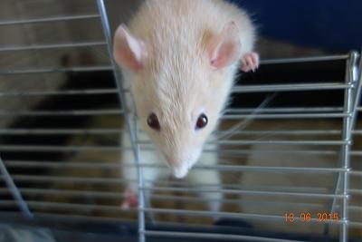 Cookie, jeune ratte à adopter rapidement (75)-cookie2.jpg