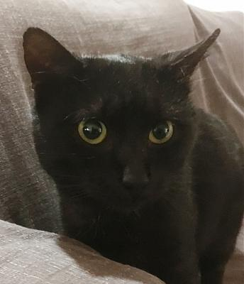 CRAPOUILLE- mâle adulte noir smoke- FELIN POSSIBLE- à adopter.-crapouille3.jpg