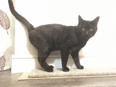 CRAPOUILLE- mâle adulte noir smoke- FELIN POSSIBLE- à adopter.-crapouille4.jpg