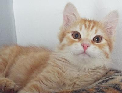 Curly, chaton angora roux de 4 mois à adopter (Picardie)-curly80a.jpg
