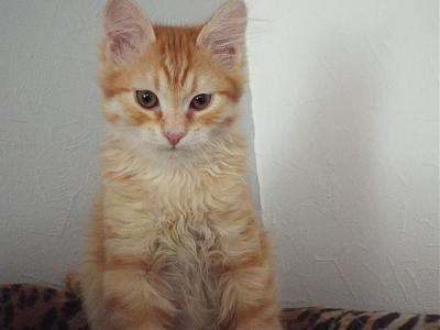 Curly, chaton angora roux de 4 mois à adopter (Picardie)-curly80b.jpg