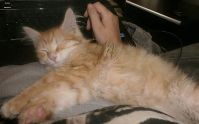 Curly, chaton angora roux de 4 mois à adopter (Picardie)-curly80c.jpg