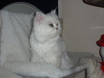 Diamant - incroyable Angora chinchilla - Asso A.S.C.A-diamant-2.jpg