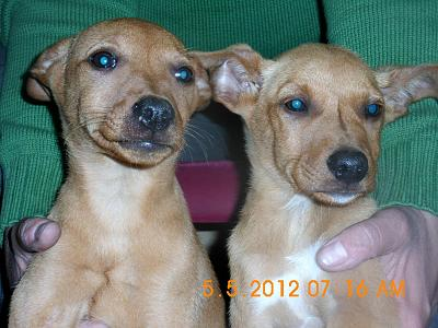 Diego et Lupo deux adorables chiots podenco-diego-lupo-1.jpg