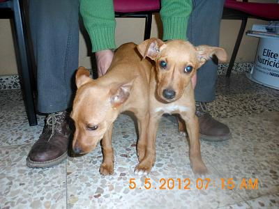 Diego et Lupo deux adorables chiots podenco-diego-lupo-2.jpg