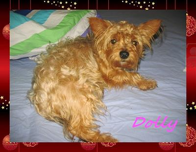 DOLLY chienne type croisée York 2/3 ans (77)-dolly02.jpg