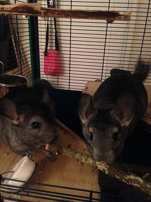Don chinchillas-grece-086.jpg