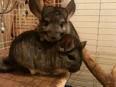 Donne chinchillas-photo-1.jpg