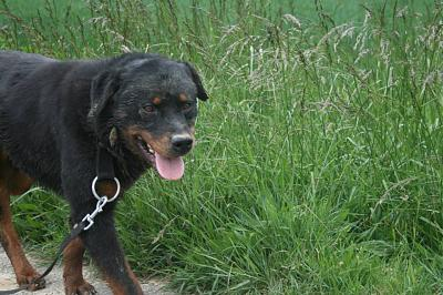 EMPIR, amour de rott, 4 ans - Molosses Land (72)-10172667_246398735556144_4151466803969168010_n.jpg