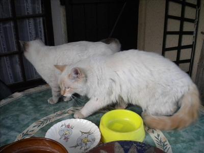 FA urgent 2 chatons 6-7 mois Xsiam poils longs, F et M, Montpellier (34)-chat-275.jpg