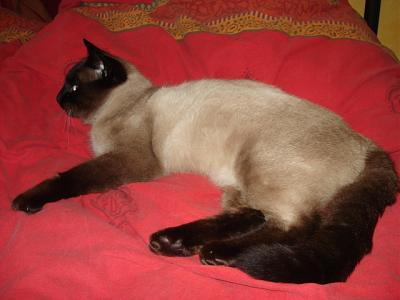 FAKIR - mâle type siamois - 2 ans - FELIN POSSIBLE-3.jpg