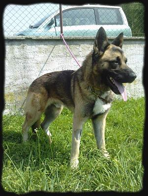 First - Berger allemand croise akita de 1 ans - spa Lons le saunier (39)-first_berger_all.jpg