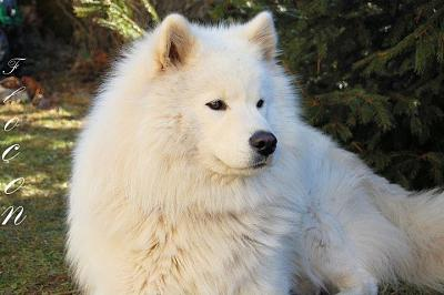 Flocon Samoyede - de 2 ans-flocon10.jpg