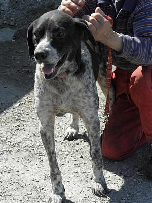 FREDDY, très beau pointer mâle, 7 ans, en pension-freddyetla6.jpg