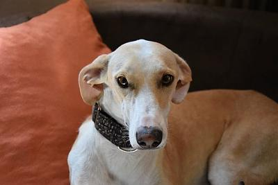 Fully adorable femelle type galgo 1 an attend sa famille (31)-10365985_854393407936637_4533877895977623645_n.jpg
