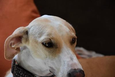 Fully adorable femelle type galgo 1 an attend sa famille (31)-10420371_854393487936629_2894598868236394117_n.jpg
