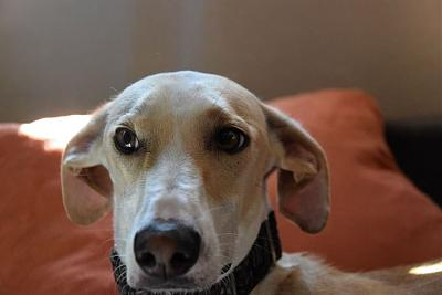 Fully adorable femelle type galgo 1 an attend sa famille (31)-10440673_854393541269957_374203632005233860_n.jpg