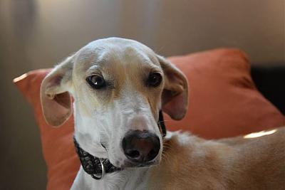 Fully adorable femelle type galgo 1 an attend sa famille (31)-10624893_854393354603309_1106020008585082124_n.jpg