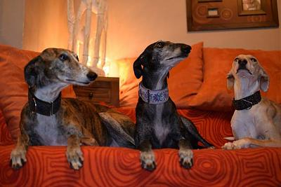 Fully adorable femelle type galgo 1 an attend sa famille (31)-10896851_556066971162882_1229781290537409715_n.jpg