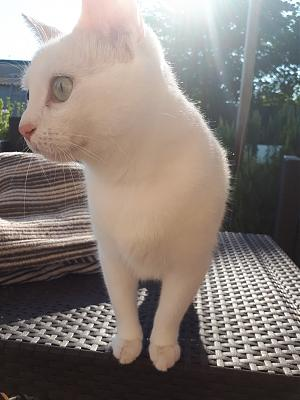 Galaad, chatte blanche, 49, adoptable partout en France-20180715_093529.jpg