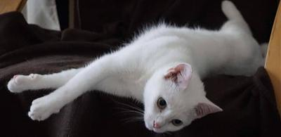 Galaad, chatte blanche, 49, adoptable partout en France-20953648_486583278383144_2027124607790496384_n.jpg