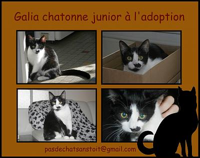 Galia jolie chatonne junior à l'adoption sous PAS DE CHAT SANS TOIT (79)-affiche-galia.jpg