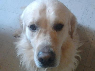 Gaylord - Golden Retriver - 5 ans - Toulouse-gaylor15.jpg