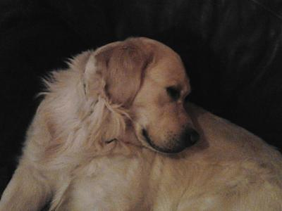 Gaylord - Golden Retriver - 5 ans - Toulouse-gaylor16.jpg