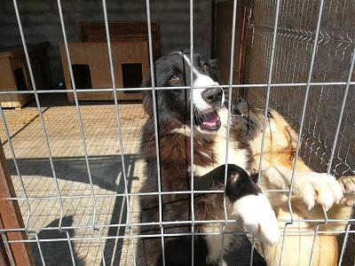 GERONIMO - MALE BORDER COLLIE DE 3 ANS - REFUGE ALINA-31658014_2102224636681636_8884001743899274011_n.jpg