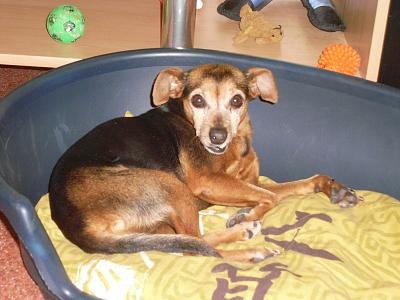 Glopy x pinscher de 8 ans a l'adoption-01.09.2012.jpg