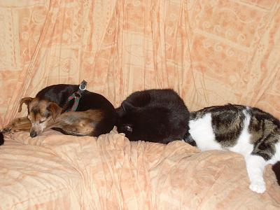 Glopy x pinscher de 8 ans a l'adoption-31.08.2012.jpg