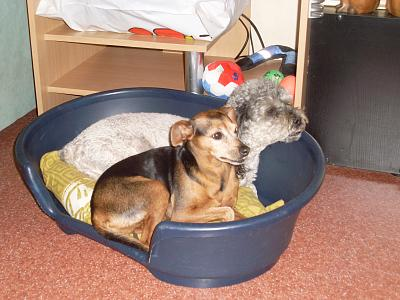 Glopy x pinscher de 8 ans a l'adoption-mona-and-ugo-02.10.2012.jpg