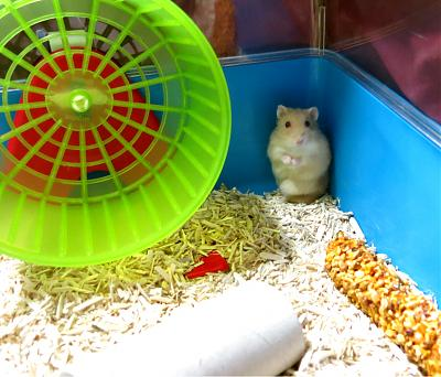 GROSSE URGENCE pour 2 hamsters-you1.jpg