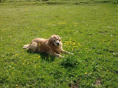 Gypsy-golden retriever-12 ans-urgence-don libre-dept 54-photo011.jpg