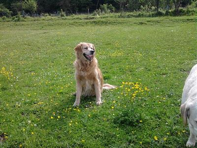 Gypsy-golden retriever-12 ans-urgence-don libre-dept 54-photo012.jpg