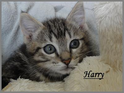 HARRY, mâle tigré brun, né en janvier 2012, FELIN POSSIBLE (35)-887676harry6.jpg