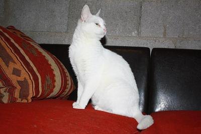 Hildegarde - chatte blanche aux yeux verrons -  Asso A.S.C.A-hildegarde-3.jpg