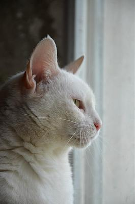 Hildegarde - chatte blanche aux yeux verrons -  Asso A.S.C.A-hildegarde-4.jpg